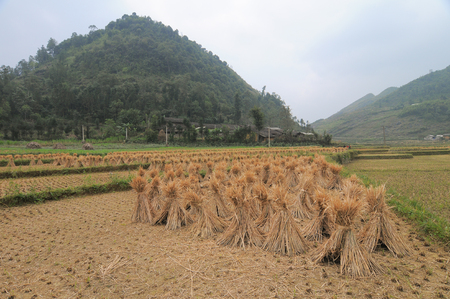 ha giang: View of rice fields after harvest in Ha Giang, north of Vietnam.