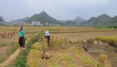 ha giang: Vietnamese people working on the rice terraces field in harvesting day in Ha Giang, Northwest Vietnam.