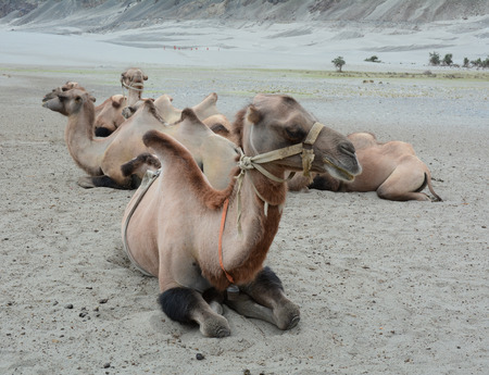 saddle camel: Bactrian camel in Nubra valley, Ladakh, India. The valley was open for tourists till Hunder (the land of sand dunes) until 2010. Stock Photo