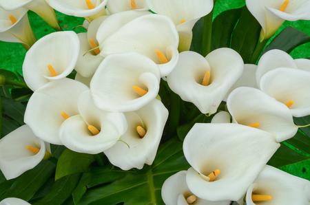 대만에서 정원에서 칼라 백합 꽃.