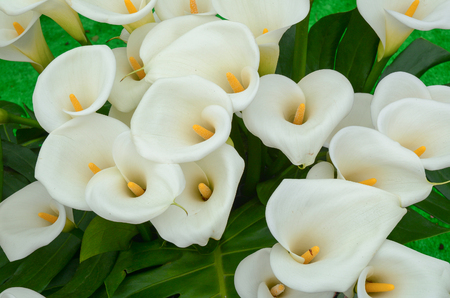 Calla lily flowers at the garden in Taiwan. Archivio Fotografico