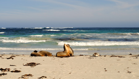 Seals at Seal Bay in Kangaroo Island, South Australia. Stock Photo