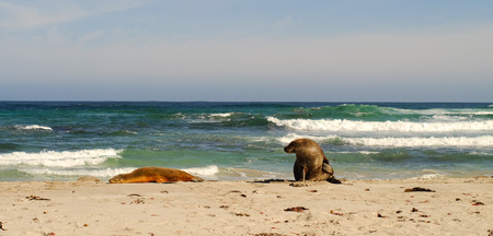 kangaroo island: Seals at Seal Bay in Kangaroo Island, South Australia. Stock Photo