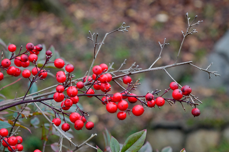 Guelder-rose (Viburnum opulus) ripe dupes at the autumn garden in Kyoto, Japan. Stock Photo