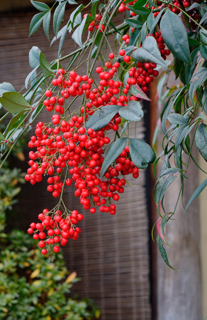 Guelder-rose (Viburnum opulus) ripe dupes at the autumn garden in wooden house Stock Photo