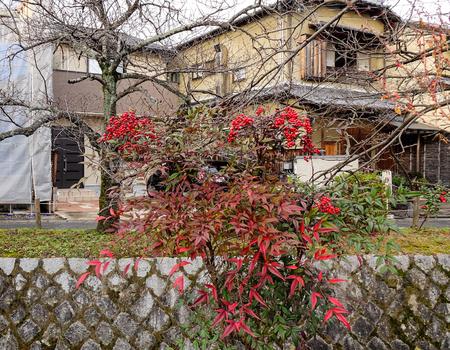 plants species: Guelder-rose (Viburnum opulus) ripe dupes on street in Kyoto, Japan.