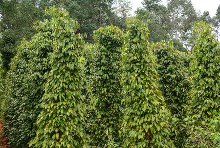 Zwarte peper (Piper nigrum) wijnstokken op de plantage in Phu Quoc eiland, Vietnam. Stockfoto