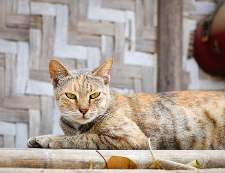 Cat lies on the floor outdoor in Fenghuang Ancient town, China.