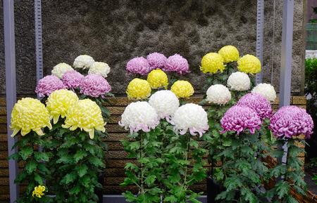 japanese chrysanthemum: Colorful Japanese chrysanthemum flowers blooming at autumn in the garden