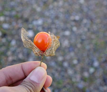 Fruit of Physalis peruviana in a calyx, or Cape gooseberry, Inca berry, Aztec berry, golden berry Stock Photo