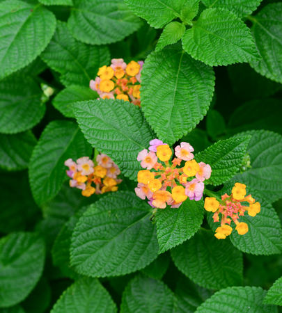lantana: Lantana small red with purple, which stand out from the group.