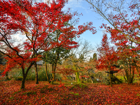 Autumn scenery with maple trees at forest in Kyoto, Japan.