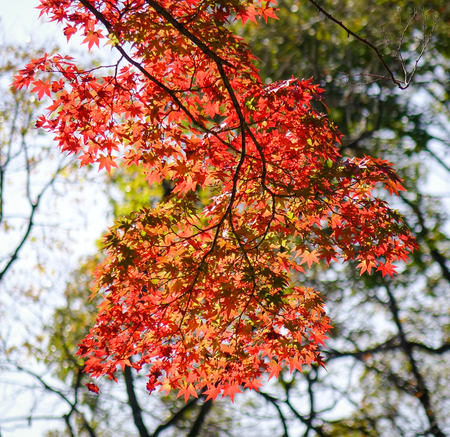 Autumn scenery with many red maple leaves at city park in sunny day.