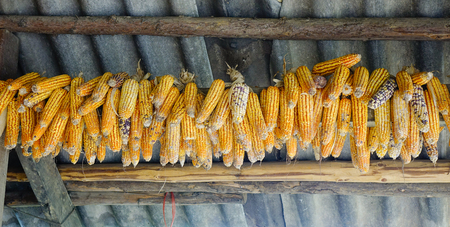 Ripe dried corn cobs hanging at the wooden house of Hmong People in Northern Vietnam. Hmong, ethnic group living chiefly in China and Southeast Asia. Stock Photo
