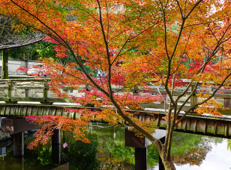 Red maple trees with wooden bridge at the park in Nara, Japan. In 2010, Nara celebrated the 1,300th anniversary of its ascension as Japans imperial capital.