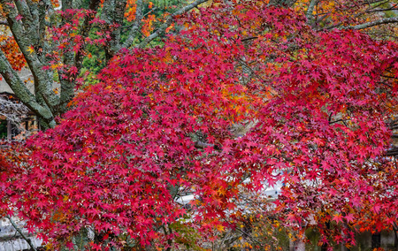honshu: Red maple trees at the autumn park in Nara, Japan. Nara is the capital of Japan's Nara Prefecture, in south-central Honshu. Stock Photo