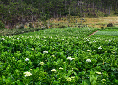 Hydrangea flower plantation in Dalat, Vietnam. Dalat is a city located on Lang Biang highlands – part of the Central Highlands region of Vietnam.