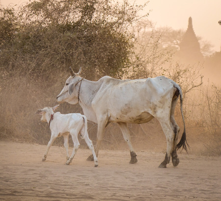 Cows walking on dusty road in Bagan, Myanmar. Bagan in central Burma is one of the worlds greatest archeological sites.