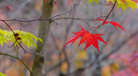 honshu: Macro of maple leaves at autumn in Kyoto, Japan. Kyoto is a city located in the central part of the island of Honshu, Japan.