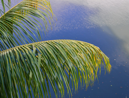 Palm leaves on the tree in Mekong Delta, southern Vietnam.