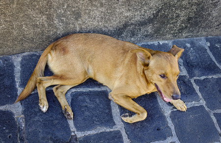 pity: Brown dog lying on stone road in Port Louis, capital of Mauritius.