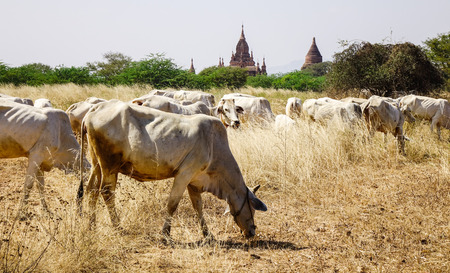 Cows on the grass field at sunny day in Bagan, Myanmar. Bagan is an ancient city located in the Mandalay Region of Myanmar.