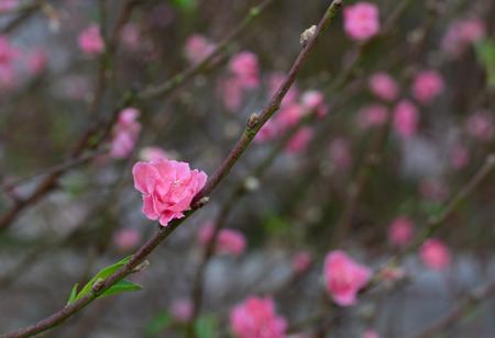 to prefer: Peach flowers blooming at the park in Saigon, Vietnam. Northern Vietnamese people prefer reddish-pink or pink blossoms because those hues are harbingers of good fortune.