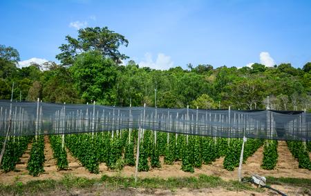 Black pepper (Piper nigrum) vines at the plantation in Phu Quoc island, Vietnam. Stock Photo