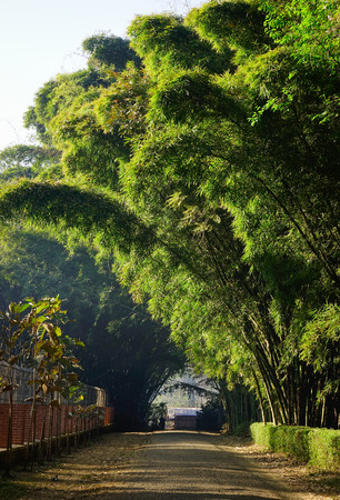 Bamboo forest under sun lights at Botanical Gardens in Pyin Oo Lwin, Myanmar.