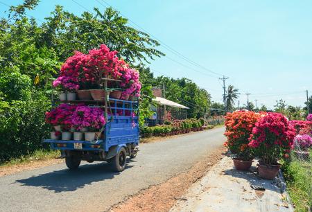 Mekong Delta, Vietnam - Jan 31, 2016. Carrying Bougainvillea flowers on street in Mekong Delta, Vietnam. The Mekong Delta is by far Vietnam most productive region in agriculture.
