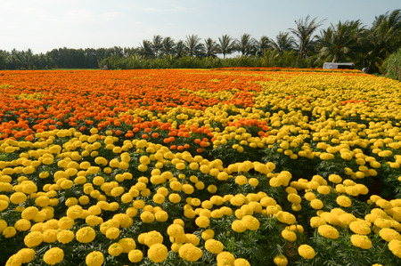 Flower plantation in Mekong Delta, Vietnam. The Mekong delta region encompasses a large portion of southwestern Vietnam of 39,000 square kilometres.