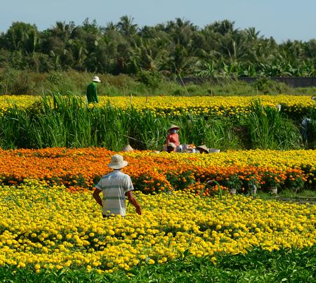 Mekong Delta, Vietnam - Jan 31, 2016. People working on flower plantation in Mekong Delta, Vietnam. Mekong delta region encompasses a large portion of southwestern Vietnam of 39,000 square km. Editorial