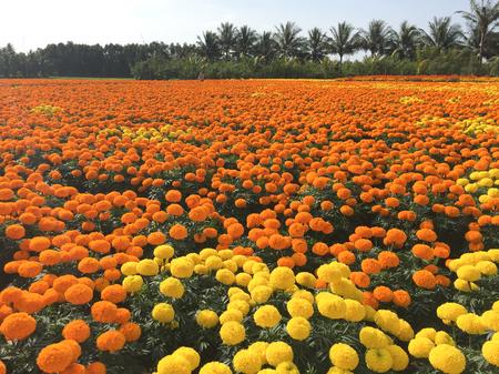 Marigold flower field at sunny day in Mekong Delta, Vietnam. The Mekong delta region encompasses a large portion of southwestern Vietnam of 39,000 square kilometres.