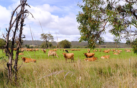 herder: Cows are grazing in a beautiful green meadow in Southern Australia. Stock Photo