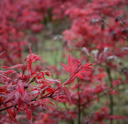 Red maple trees at the Yangmingshan National Park in Taiwan.