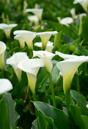 Zantedeschia aethiopica (known as calla lily and arum lily) flowers blooming on the field