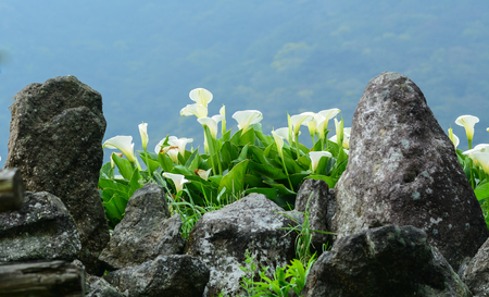Zantedeschia aethiopica (known as calla lily and arum lily) flowers blooming on the field at sunny day.