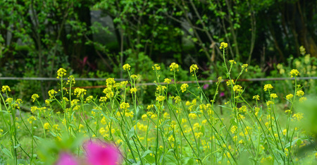 Yellow mustard flowers at the Yangmingshan National Park in Taiwan. Stock Photo