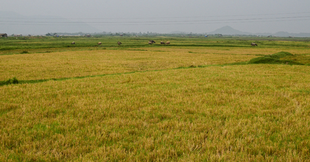 Rice fields in Northern Vietnam. In 2004, agriculture and forestry accounted for 21.8 percent of Vietnam gross domestic product (GDP). Stock Photo