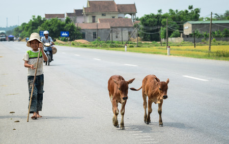 Ha Tinh, Vietnam - Jun 17, 2012. A boy with cows walking on rural road in Ha Tinh, Vietnam. Many roads in Vietnam was constructed by the French colonists in early 20th century. Editorial