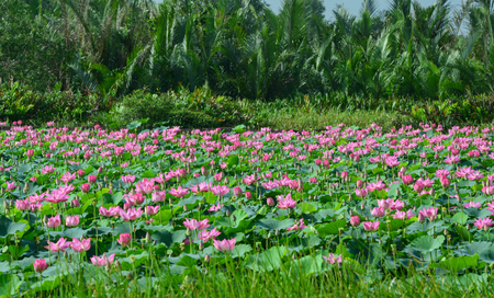 Landscape of lotus flower field with palm forest background. Lotus flowers enjoy warm sunlight and are intolerant to cold weather.