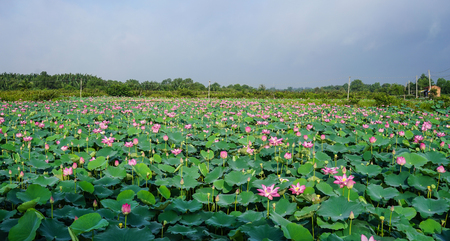 Landscape of lotus flower field in early morning. Lotus flowers enjoy warm sunlight and are intolerant to cold weather. Stock Photo