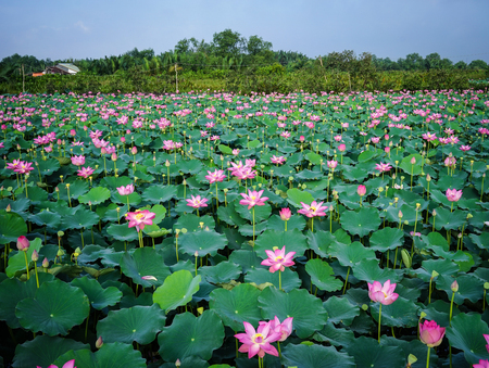 Landscape of lotus flower field under sun lights. Lotus flowers enjoy warm sunlight and are intolerant to cold weather.