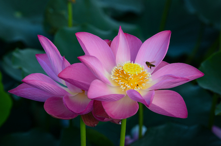 Close-up of lotus flower at sunrise. Lotus flowers enjoy warm sunlight and are intolerant to cold weather.