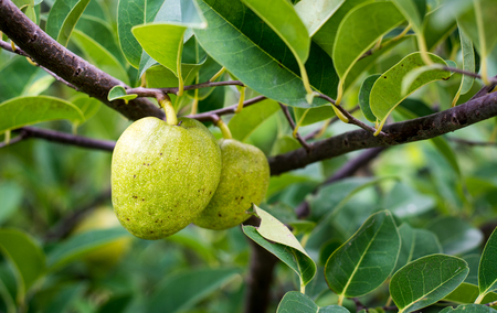 reticulata: Annona reticulata fruits on the tree at sunny day in southern Vietnam.