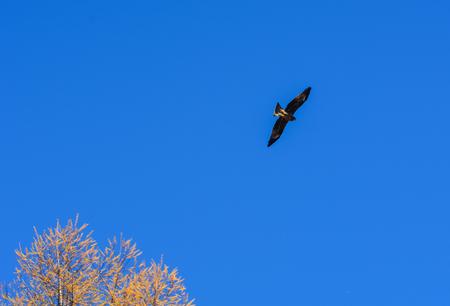 A golden eagle flying in blue summer sky