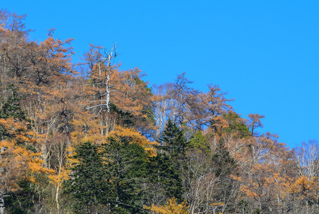 Pine tree under blue sky at Nikko National Park in Nikko, Japan. Nikko is heavily dependent on tourism to its historical and scenic sites and hot spring resorts.