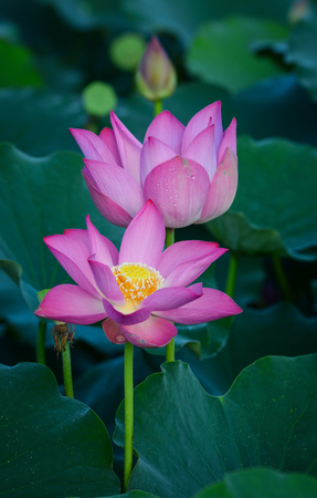Lotus flowers blooming on the pond in summer. For thousands of years, the lotus flower has been admired as a sacred symbol.