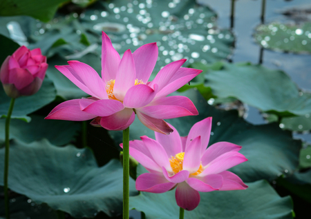 Lotus flowers blooming on the pond in summer. Lotus flowers enjoy warm sunlight and are intolerant to cold weather.