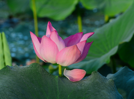 A lotus flower with green leaves at sunrise. Many deities of Asian religions are depicted as seated on a lotus flower.